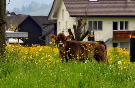 Kühe (2)